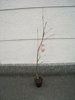 櫻花櫻花櫻花盛開櫻花樹種植苗木。