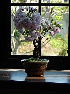 開花預定栅欄春天在2015年盆栽桜盆栽旭山桜盆栽信楽焼鉢入り