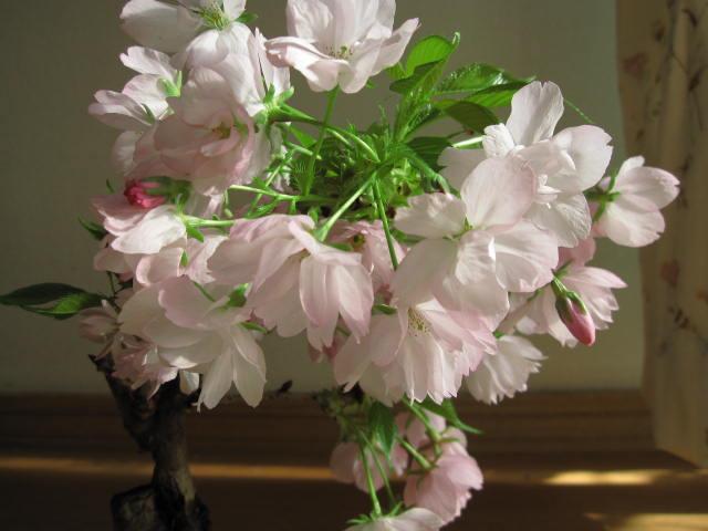 【梅盆栽】紅白福寿桜盆ヒナ草寄せ植え寄せ植え盆栽信楽焼鉢入り鉢植【送料無料】