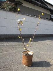 ロウバイは香り高い花として庭木や鉢植えに人気がある梅です鉢植え 蝋梅 ロウバイ とてもいい香...