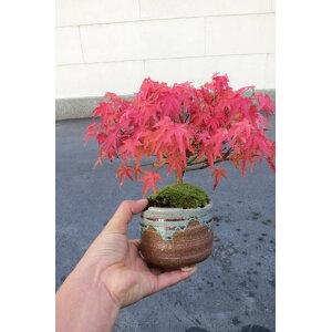 هدية Momiji Bonsai للهدايا Mini Bonsai: [Kiyohime Momiji] [Momiji] [هدية] [Bonsai] [أوراق الخريف] [Mini Bonsai] [الفخار] في فصل الشتاء ، تكون الأوراق متساقطة الأوراق.