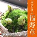 【福寿草】 信楽焼鉢入り【鉢植】