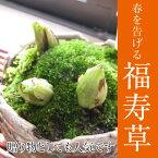 【福寿草】 信楽焼鉢入り 2016年12月より お届けいたします 【鉢植】