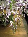 母の日ギフト【藤盆栽】野田 藤 盆栽 綺麗な薄紫の藤 2019年4月末頃〜5月開花 信楽鉢入り【鉢植】
