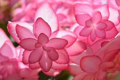 開花終了苗となります。6月以降は剪定後の状態でのお届けとなります【ひな祭りアジサイ ピンク】母の日贈り物におすすめの綺麗な紫陽花2021おすすめのとても綺麗なアジサイ2021年5月開花鉢植え ひな祭り...
