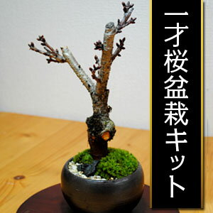 3月後半から花を咲かせます。 一才桜盆栽キット【季節限定】