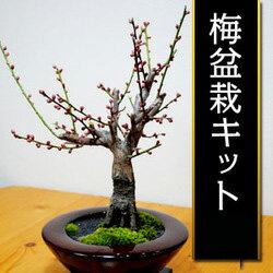 紅梅盆栽キット