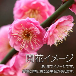 紅梅の開花イメージ