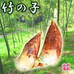 たけのこ(筍)【朝掘り】【送料無料】産地直送、竹の子、掘りたてをお送りします。春の山菜、旬の野菜タケノコ