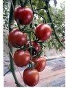 ミニトマト種子トスカーナバイオレットパイオニアエコサイエンスの紫ミニトマト品種です。