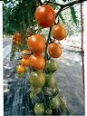 ミニトマト種ピッコラカナリアパイオニアエコサイエンスのミニトマト品種です。