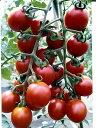 ピッコラルージュミニトマトパイオニアエコサイエンスのミニトマト品種です。