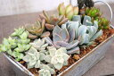 【多肉植物】【ミニ観葉】インテリアやギフトに最適!オシャレでかわいい寄せ植え!ナチュラル...