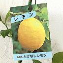 レモン 苗木 トゲなしレモン 13.5cmポット苗 れもん 苗 檸檬 gv