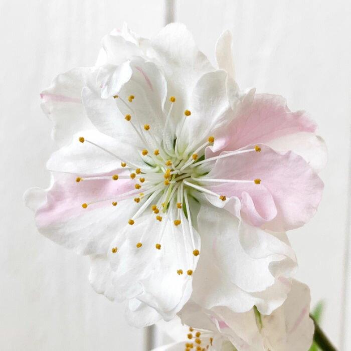花桃 苗木 寒白 12cmポット苗 かんぱく はなもも 苗 ハナモモ gv