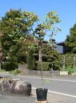 イチイガシ 0.5m10.5cmポット 20本セット 送料無料【1年間枯れ保証】【生垣樹木】