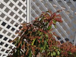 【1年間枯れ保証】【春に花が咲く木】アセビ0.2m10.5cmポット【あす楽対応】