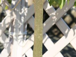 【1年間枯れ保証】【シンボルツリー常緑】カラタネオガタマ/ポートワイン1.5m露地【あす楽対応】