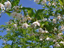 【1年間枯れ保証】【街路樹&公園樹】エゴノキ 1.0m15cmポット 【あす楽対応】