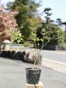 【1年間枯れ保証】【低木】ウンナンオウバイ 0.2m10.5cmポット 1本