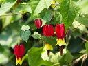 赤いランプのような花【6か月枯れ保証】【低木】ウキツリボク 10.5cmポット 【あす楽対応】