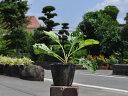 オミナエシ 10.5cmポット 1本【1年間枯れ保証】【山野草】