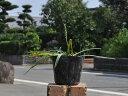 オニツルボ 9.0cmポット 1本【1年間枯れ保証】【山野草】