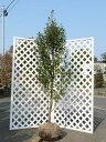 【1年間枯れ保証】【シンボルツリー常緑】シイモチ単木 2.0m露地 1本