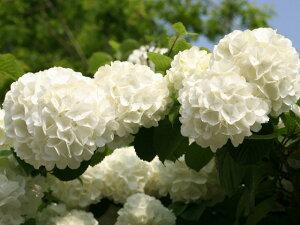 大きなマリのような花【6か月枯れ保証】【春に花が咲く木】オオデマリ 0.3m 【あす楽対応】