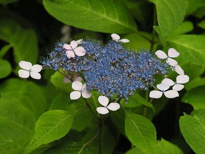 【1年間枯れ保証】【春に花が咲く木】アジサイ/アマチャ 0.3m15cmポット 【あす楽対応】