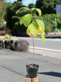 【1年間枯れ保証】【山林苗木】アオモジ0.4m12cmポット【あす楽対応】