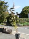 ギンバイカ 0.5m10.5cmポット 15本セット 送料無料【1年間枯れ保証】【生垣樹木】