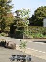 キンモクセイ 0.7m10.5cmポット 1本【1年間枯れ保証】【生垣樹木】