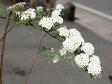 【1年間枯れ保証】【春に花が咲く木】コデマリ 0.5m 【あす楽対応】