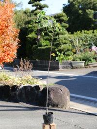 コバノセンナ10.5cmポット1本【1年間枯れ保証】【秋冬に花が咲く木】