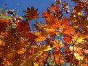 【1年間枯れ保証】【紅葉が美しい木】コハウチワカエデ 0.3...