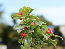【6か月枯れ保証】【葉や形を楽しむ木】クリスマスホーリー0.2m【あす楽対応】
