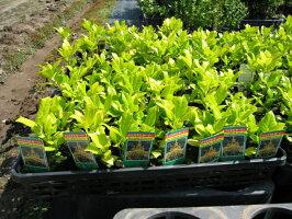 【1年間枯れ保証】【葉や形を楽しむ木】クリスマスホーリー0.2m【あす楽対応】