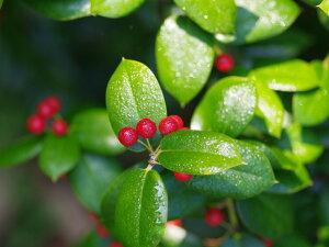 飾り付けにされる【1年間枯れ保証】【葉や形を楽しむ木】クリスマスホーリー 0.5m 【あす楽対...