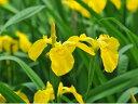 花が黄色【6か月枯れ保証】【球根】キショウブ 10.5cmポット 【あす楽対応】