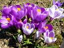 地表すれすれに咲く花【6か月枯れ保証】【球根】クロッカス 10.5cmポット 【あす楽対応】