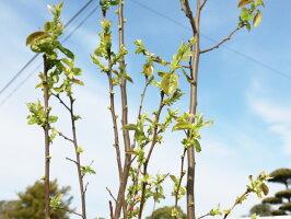 【1年間枯れ保証】【シンボルツリー落葉】カリン単木2.0m露地【配達指定不可/大型商品/個別送料2800円】
