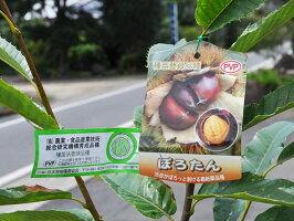 【6か月枯れ保証】【秋に収穫する果樹】クリ/ぽろたん15cmポット【あす楽対応】