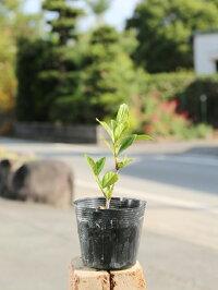 【1年間枯れ保証】【低木】クチナシ八重0.3m10.5cmポット【あす楽対応】