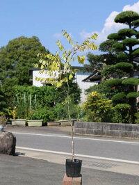 【1年間枯れ保証】【山林苗木】コバンノキ0.3m10.5cmポット【あす楽対応】