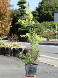 グレビレア(品種指定不可)0.5m15cmポット1本【1年間枯れ保証】【葉や形を楽しむ木】
