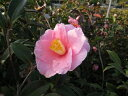 【1年間枯れ保証】【生垣樹木】サザンカ/笑顔ピンク花 0.2m10.5cmポット 20本セット 送料無料 【あす楽対応】
