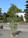 シラカシ単木 1.5m露地 2本セット 送料無料【1年間枯れ保証】【生垣樹木】