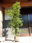 シラカシ株立ち 1.7m露地 1本【1年間枯れ保証】【シンボルツリー常緑】