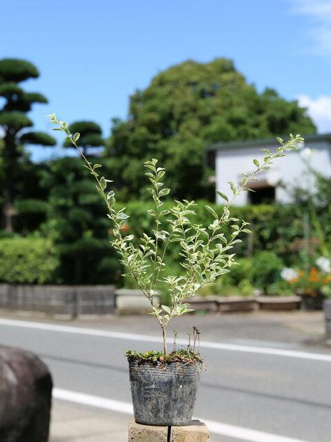 シルバープリペット 0.3m10.5cmポット 1本【1年間枯れ保証】【生垣樹木】